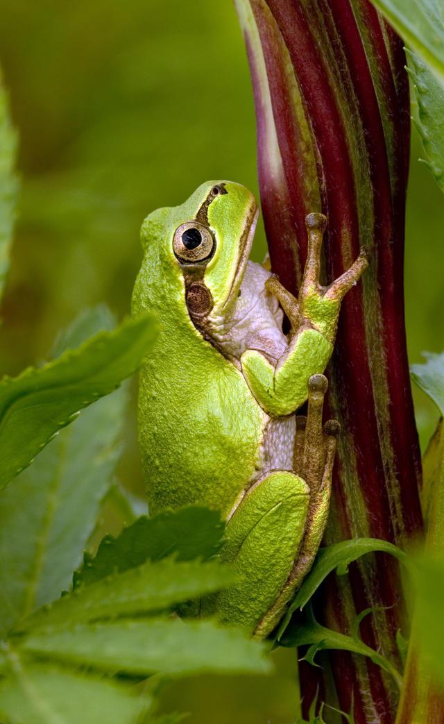 雨蛙的名字里虽然带有一个蛙字,但依据肩带类型的划分,它们应该属于广义的蟾,也因此,过去一些前辈将雨蛙的中文名拟做树蟾。值得一提的是,日本雨蛙过去一直归隶于雨蛙属(Hyla),但Duellman等(2016)对雨蛙科(Hylidae)及其近缘类群的分子系统学研究显示,日本雨蛙与主要分布于北美的Dryophytes属聚为一支,而与亚洲大陆的雨蛙属亲缘关系较远。这是一项非常有意思的发现,对于物种如何由旧大陆向新大陆扩散有着非常重要的研究价值。 现实版呱妈,可以养啥儿子? 日本雨蛙是野生动物,不好养。想要