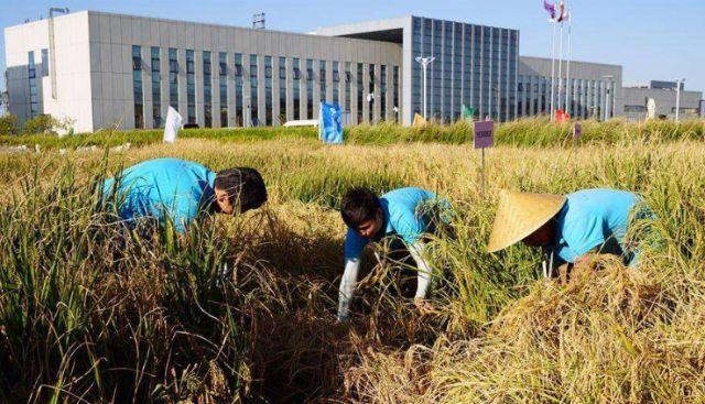 关注丨厉害了 青岛海水稻种到迪拜 用技术优势打造农业新模式