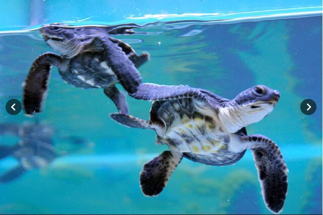 全球变暖影响海龟性别!澳洲大堡礁幼年绿海龟99%为雌性