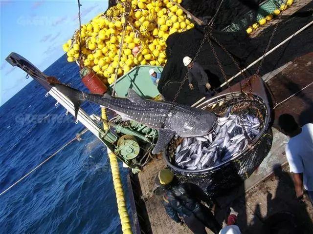 ▲日本船只捕捞金枪鱼 (图片来源:绿色和平组织)