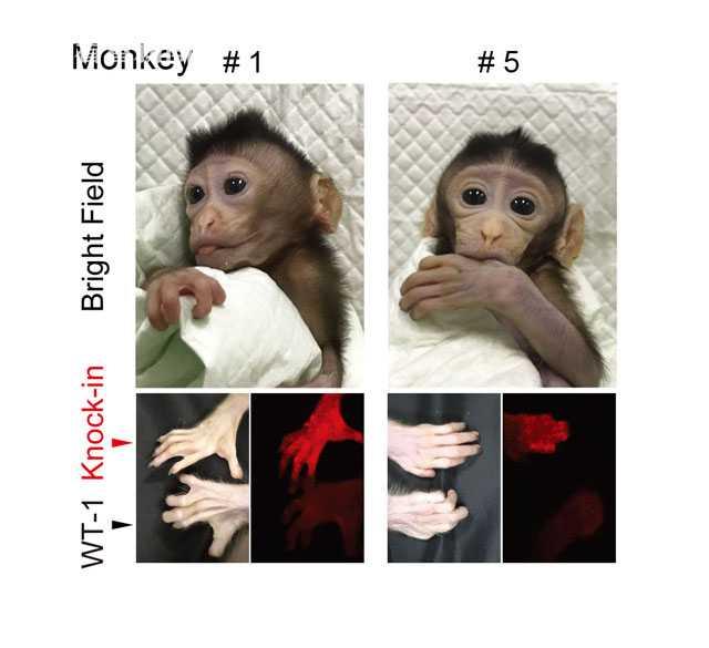 基因组信息揭示白顶白眉猴如何避免艾滋病