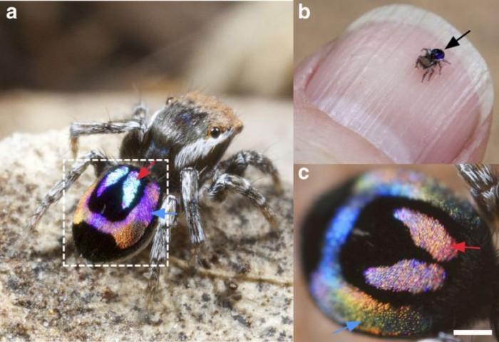 科学家欲解开蜘蛛臀部彩虹之谜 将带来更多光学应用