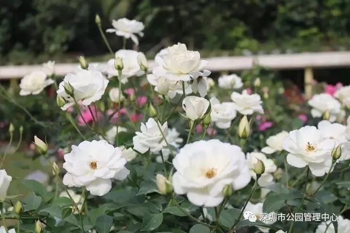 今日立春 春节还会远吗2018年深圳逛花市攻略来啦~