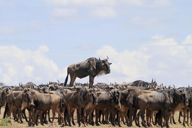 《牛大哥看牛》拍摄者:Jean Jacques Alcalay @视觉中国