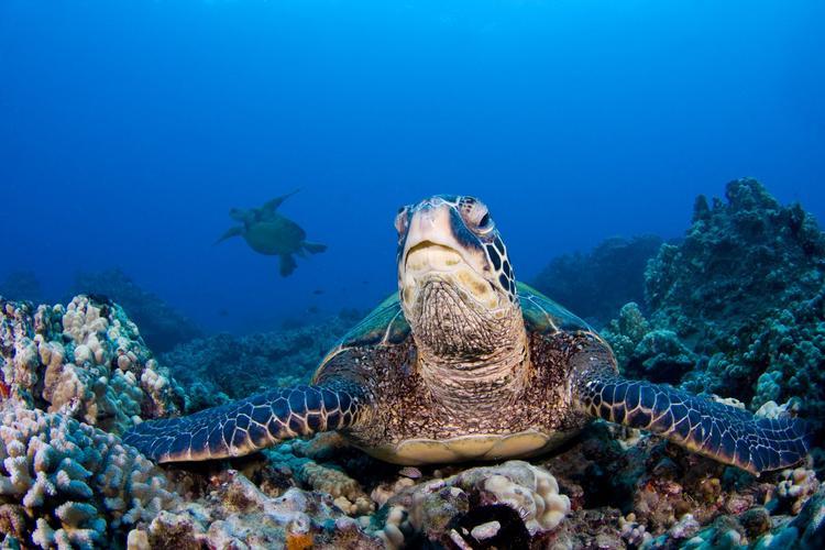 随着气候变暖,越来越多的雌海龟出生了