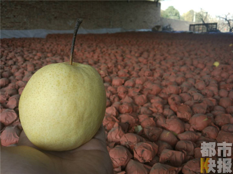 高陵农户20万斤酥梨滞销,喜欢吃梨不妨帮帮他们。