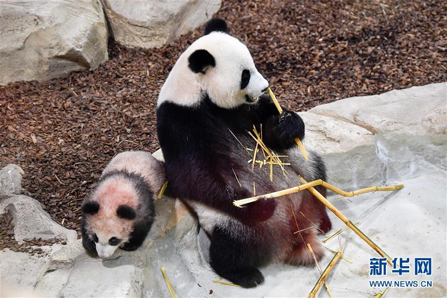 """2018年1月13日在法國聖艾尼昂市博瓦勒野生動物園拍攝的大熊貓寶寶""""圓夢""""及其母親""""歡歡""""。 新華網 資料圖"""