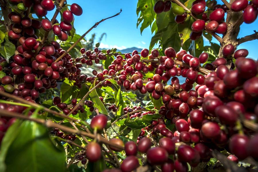 普洱咖啡·全球共享首届普洱国际精品咖啡博