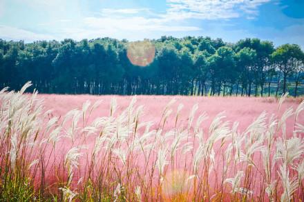 中国唯一的粉色田野
