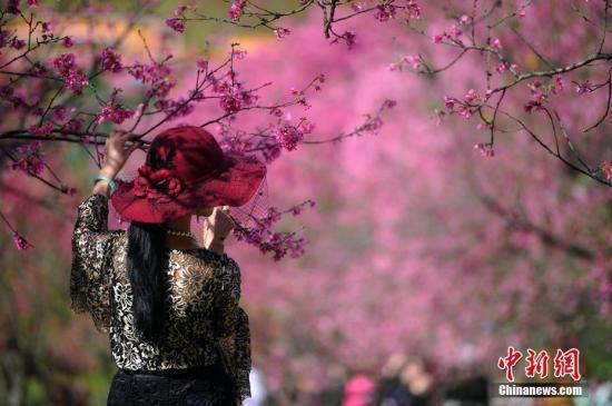 资料图:民众赏樱。 中新社记者 蒋雪林 摄