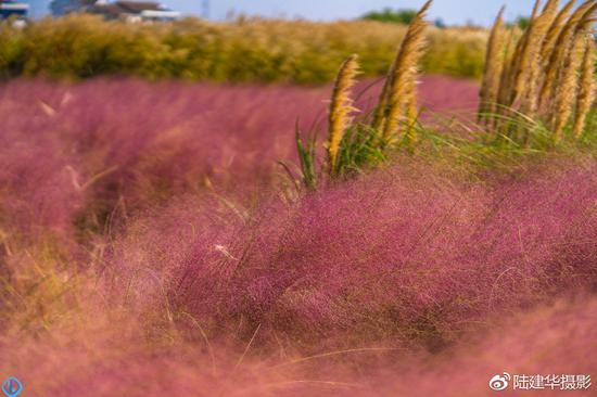 粉黛乱子草,这个秋天最吸睛的网红草