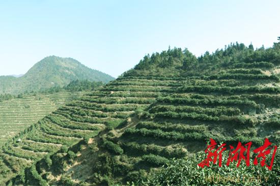 △南岳山华盖茶场