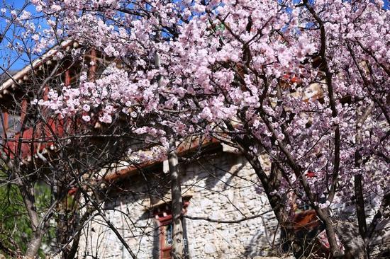 春满丹巴藏寨,千树梨花笑迎春