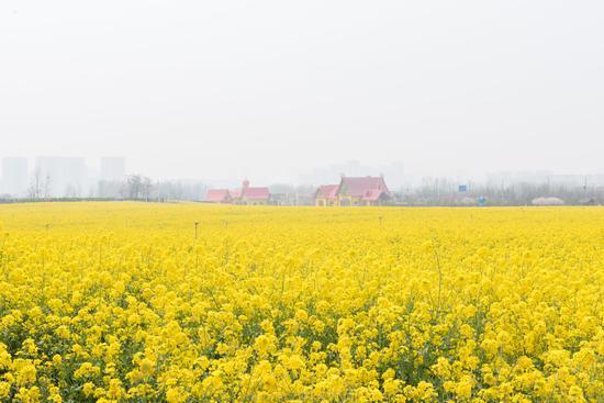 青岛的油菜花已经盛开 这个占地1500亩的景区就在西海岸