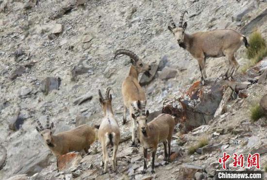 新疆帕米尔高原生态环境改善 野生动物种群数量增加