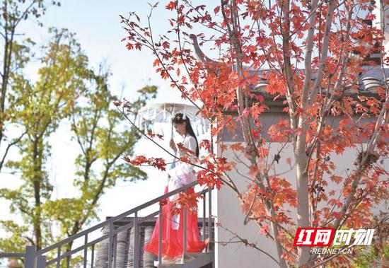 长沙县高桥镇首届红枫节开幕,现