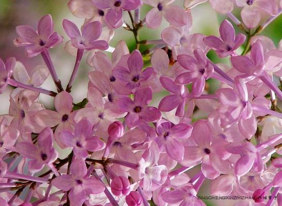 五月,冰城紫色浪漫的最美时光