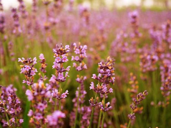 薰衣草开了 普罗旺斯太远 上海朱家角赏花刚刚好