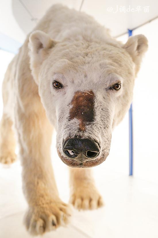 博物馆有很多极地动物的标本,从皮毛到动作生态都做得栩栩如生,还原