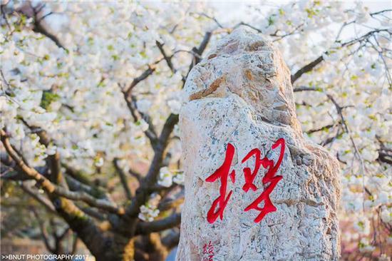 大连旅顺二零三高地樱花园 B-NUT 大花生 摄