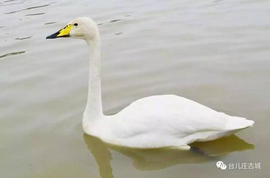 细看小天鹅,洁白的羽毛,眼睛小小的,黄色花纹的嘴巴,真是挺可爱呢!