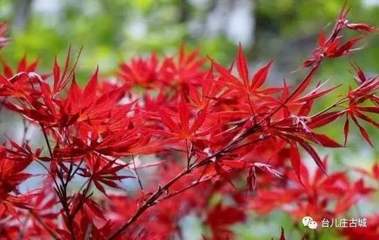 庄园内种植了法国梧桐树和五角红枫,秋天的时候最美。