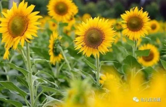 向日葵花海已经看得见挺大的向日葵花了,那金黄色的向日葵花海绝对是不能错过的美景。