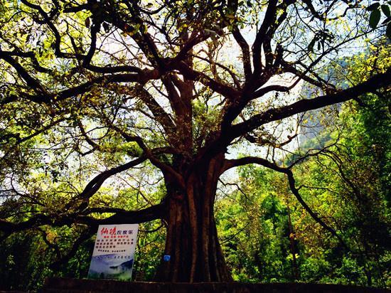 尼珠河村的千年菩提树 摄影:渔小嘿