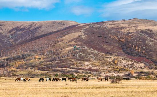 金秋赤峰赛罕乌拉美如仙境,简直是内蒙草原牧民的七彩天堂