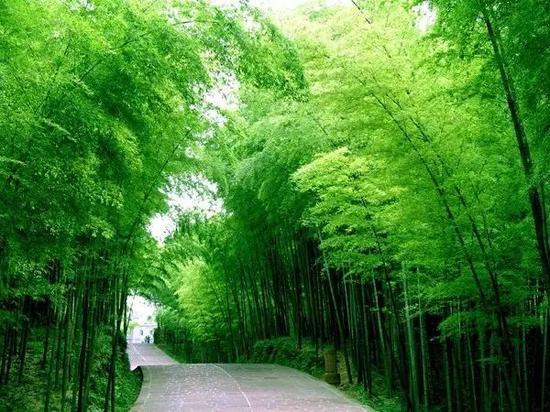 三万多亩翠绿挺拔的楠竹,山连山,坡连坡。一眼望去,就像竹涛滚滚的海洋,是游山赏竹的好地方。