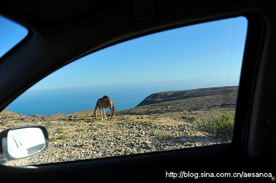 阿曼南部,骆驼总会进入到车窗外的视野