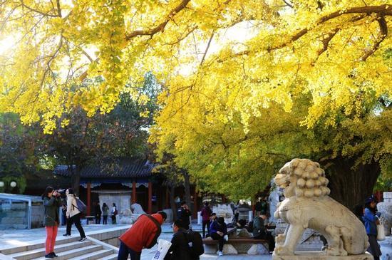 北京五塔寺的这片银杏,值得专门跑一趟