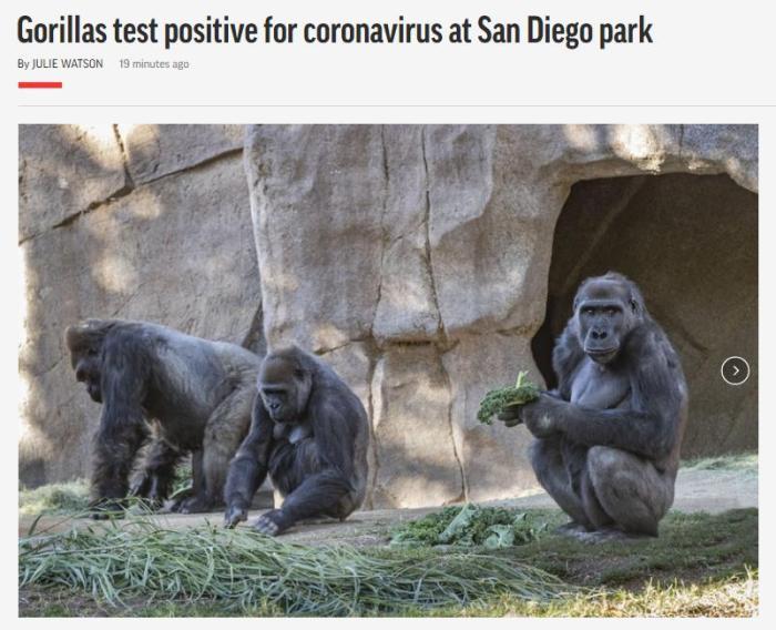 美国动物园数只大猩猩感染新冠病毒 已有咳嗽症状