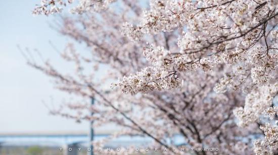 韩国釜山 不想在这浪漫粉色的樱花季中醒来 ,ipz-095