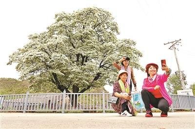 北京密云580岁古流苏树迎来盛花期