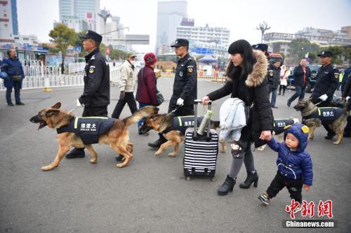 春运期间,昆明铁路警方每天都会派出五只警犬和五位训导员,在火车站进行安保工作。2月8日,训导员带着爱犬在昆明火车站巡逻。中新社记者 刘冉阳 摄