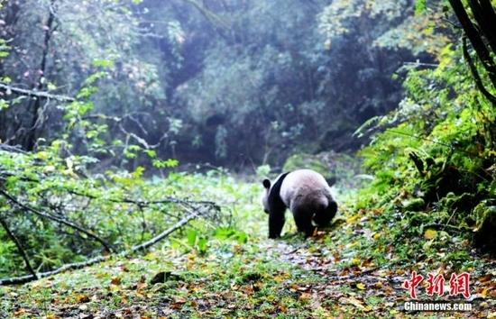 """四川雅安栗子坪国家级自然保护区内,大熊猫""""华妍""""""""张梦""""先后出笼,钻进栗子坪自然保护区茂密的森林,从此放归自然,开始了野外独立的生活。图为大熊猫""""华妍""""奔向密林。中新社记者 安源 摄"""