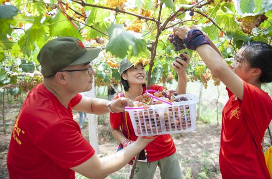 游客葡萄园内采摘葡萄