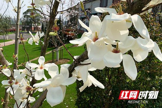 园区盛放的白玉兰花,片片飘拂轻柔的花瓣,焕发着美玉一般的光辉。