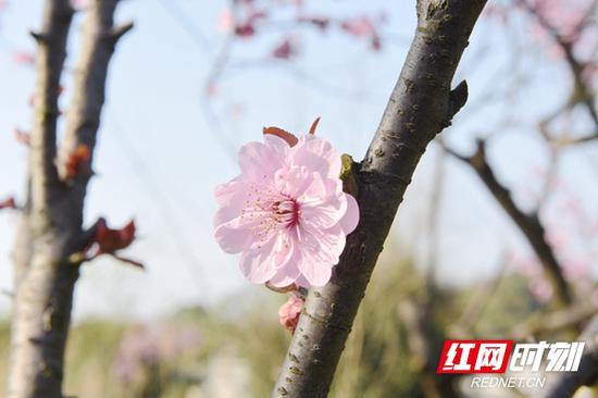 桃花春色暖先开,明媚谁人不看来。