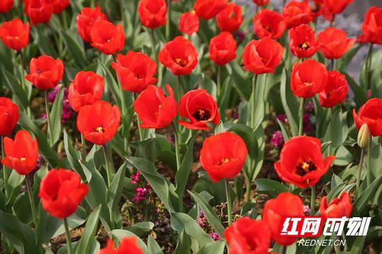花蕊似火,红得热烈的郁金香,妖而不艳,美而不媚。