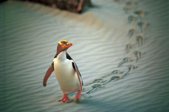 奥塔哥海岸地区是珍稀黄眼企鹅繁衍生息的家园