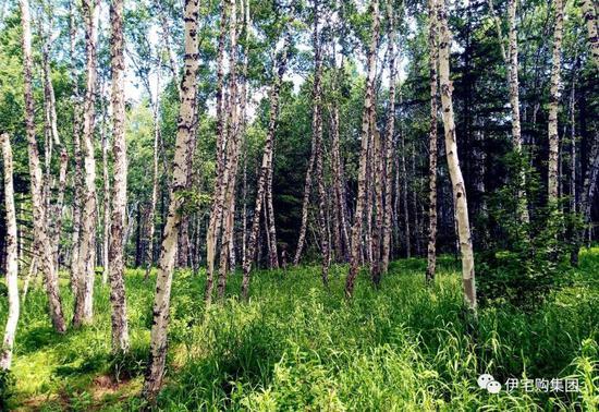 大兴安岭生长茂密的白桦林