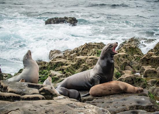 拉霍亚海滩边的海豹,图片版权:圣地亚哥旅游局