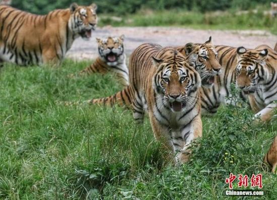 黑龙江省牡丹江市,中国横道河子猫科动物饲养繁育中心内的老虎。