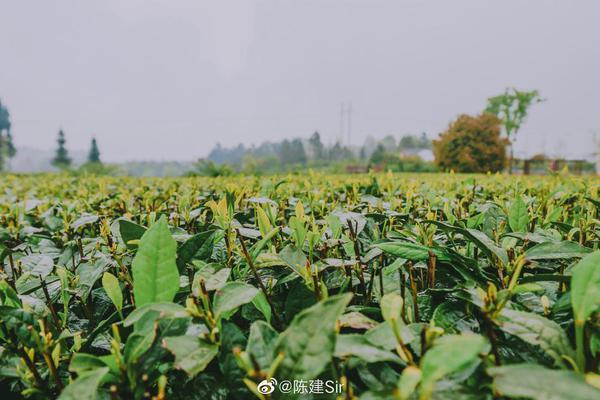 最美人间四月天 趁着雨城雅安采茶的季节