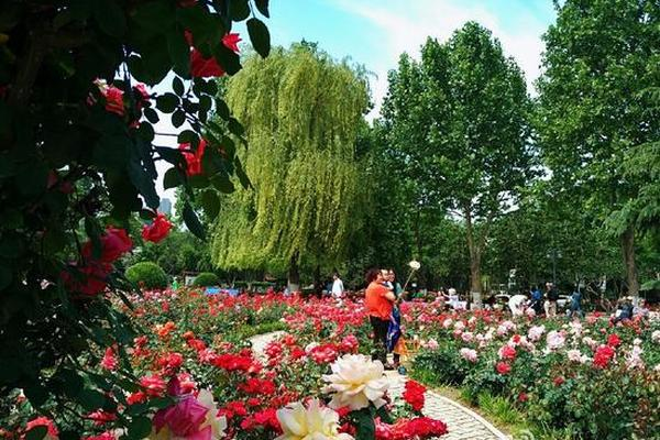 月季花开 去睦南公园一睹市花芳容