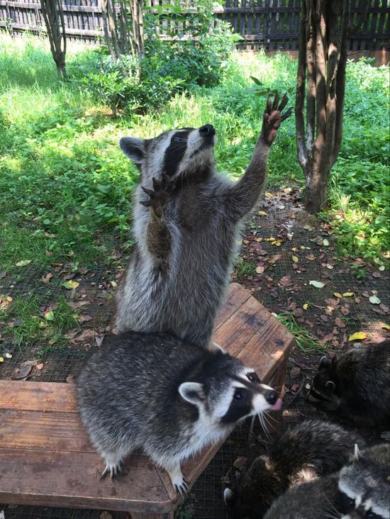 可爱的浣熊儿童剪纸画