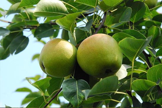 万亩果园的华酥梨