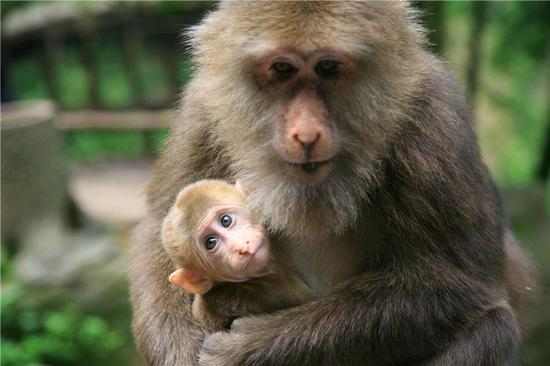 峨眉山灵猴